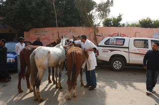 Brooke vet Dr Ammr Mahmoud with horses lined up for treatment in Giza