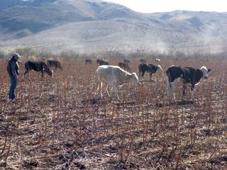 Cattle feeding in empty cotton field pozos photo WSPA
