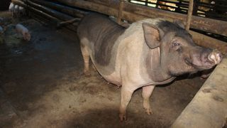 Emaciated Pig