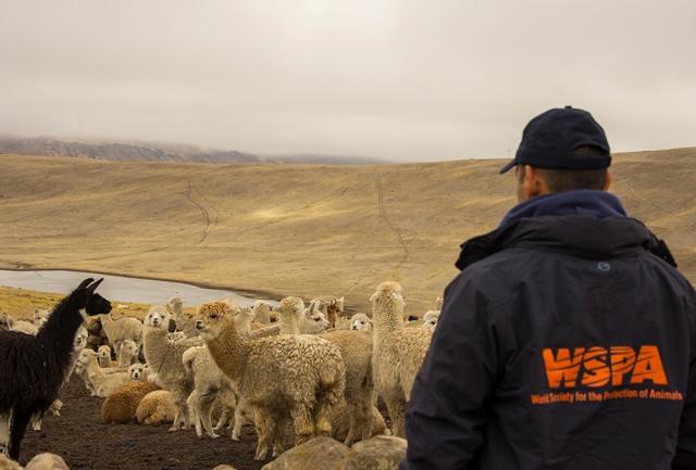 El Oficial Veterinario para Manejo de Desastres, Dr. Sergio Vásquez, observa unas alpacas que no cuentan con refugio que las proteja del frío de la región Andina en Bolivia