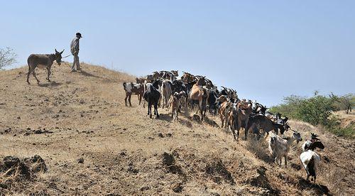 800px-Cape_Verde_Fogo_Goats